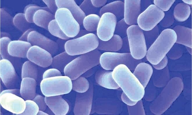 lactobacillus helveticus